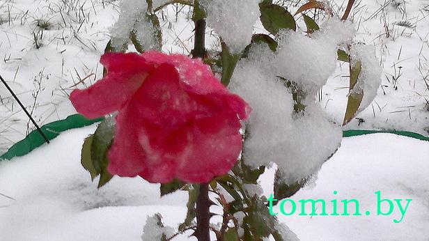 Розы в снегу - фото