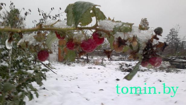 Малина в снегу - фото