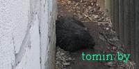 В Жабинке в курятнике поймали бобра (фото)
