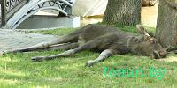 Забежавшую в брестский парк лосиху усыпили и выпустили в лес. А в Пинске лося не спасли (фото)