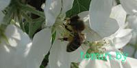 Поляки предложили белорусам восстановить популяцию дикой медоносной пчелы в Беловежской пуще