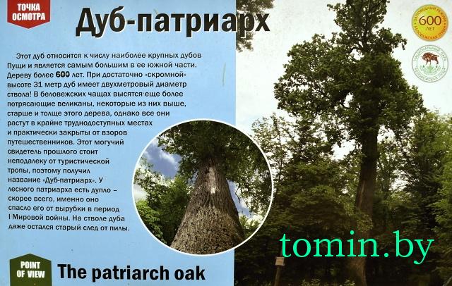 600-летний дуб в Беловежской пуще - фото