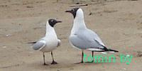 Беларусь: первые чайки появились в Бресте - фото