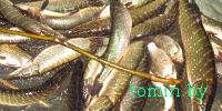 Малоритский район: пойманные с поличным браконьеры в тройном размере возместят вред за каждую выловленную щуку - фото