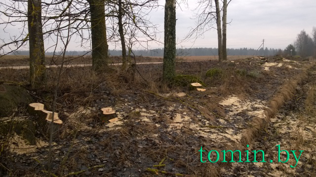 В Крацевичах Борисовского района уничтожают старинную березовую аллею: срублено уже более 80 деревьев - фото