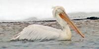 Кудрявый пеликан - фото