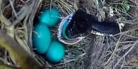 Змея проглотила яйца будущих птенцов - фото