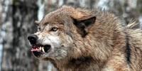 «Волк живи»: АПБ призывает белорусов поддержать мораторий на охоту на волка  в «Беловежской пуще»